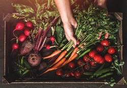 Farmer folding fresh vegetables in wooden box on dark background. Woman hands holding freshly bunch harvest. Healthy organic food, vegetables, agriculture, top view, toning