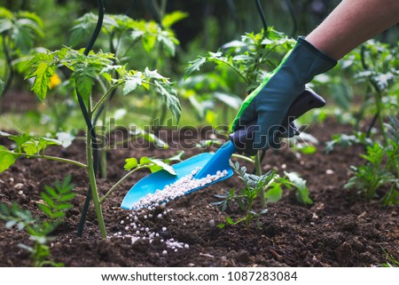 Farmer giving granulated fertilizer to young tomato plants. Hand in glove holding shovel and fertilize seedling in organic garden.