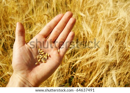 Farmer growing grain or wheat, agriculture.