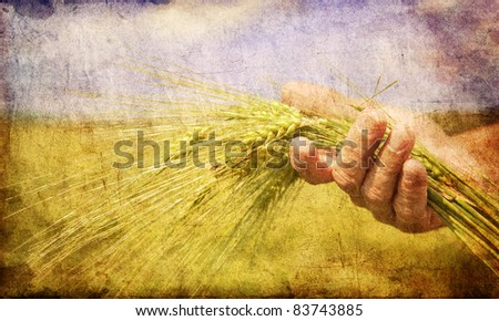 Farmer hand keep green wheat spikelet.  Photo in old color image style.