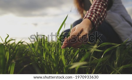 Farmer hand touches green leaves of young wheat in the field, the concept of natural farming, agriculture, the worker touches the crop and checks the sprouts, protect the ecology of the cultivated