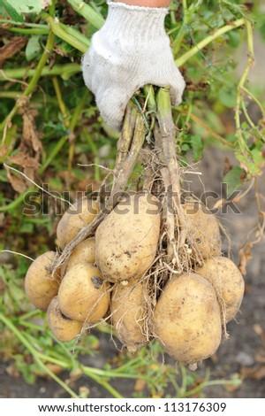 farmer hand with potato tubers