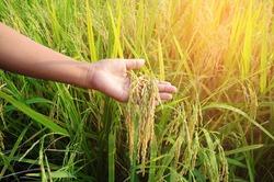 farmer hand with rice field. soft focus