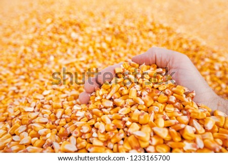 Farmer handful of harvested corn kernels from the heap loaded into tractor trailer, hands in corn grain pile as concept of abundance and great yield after successful harvest