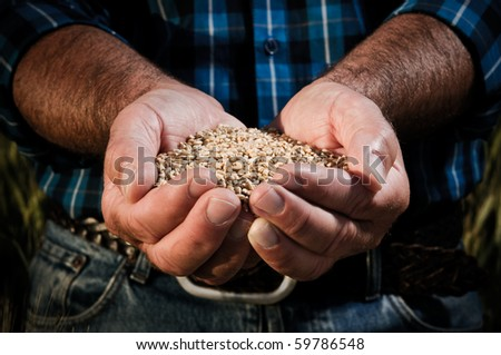 Farmer hands full of ripe wheat seeds after the harvest