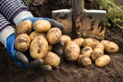Farmer hands holding freshly harvested organic potatoes close up