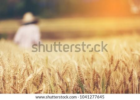 Farmer harvest Beautiful Barley Field in period Barley field detail. #1041277645