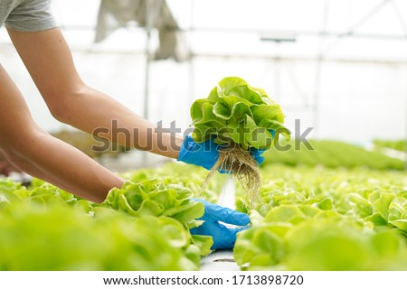 Farmer harvest farm products and fresh vegetables in greenhouse or organic farm for supply chain and delivery to customer hydroponic farm and agriculture for food supply