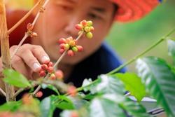 farmer harvesting coffee,coffee plantation,cherry beans.