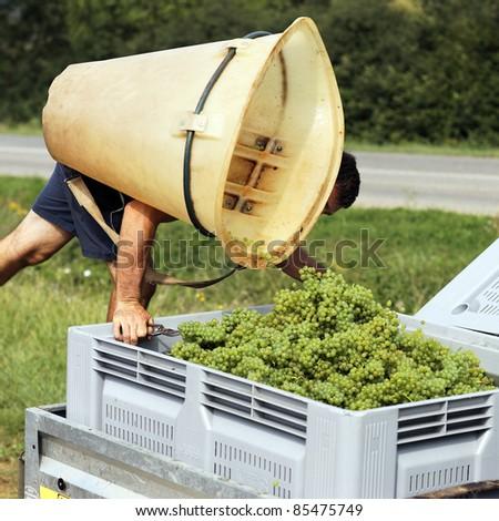 farmer harvesting grapes during the harvest in France - stock photo