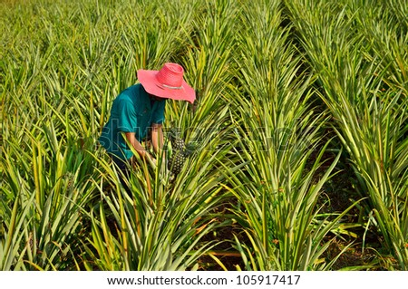 Farmer harvesting in pineapple farm , fruits field