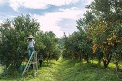 Farmer harvesting oranges in an orange tree field
