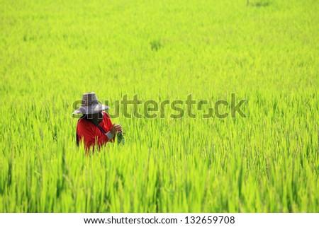 Farmer harvesting ripe paddy rice field in Chiang Mai, Thailand