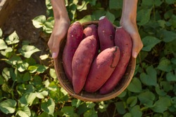 Farmer hold Fresh sweet potato product in wood basket with green leaf of sweet potato plant on background
