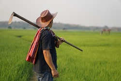 Farmer holding a hoe and looking at green paddy field. Concept organic farming. No chemical. Using traditional manual tool in stead of use herbicide. Zero pollution.