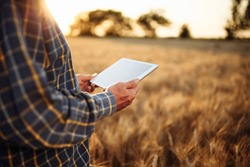 Farmer holding a tablet in his hands checking the wheat harvest progress at the field. Farm worker stands among ripen golden ears of wheat with a mobile device. Technology, rural, business concept.