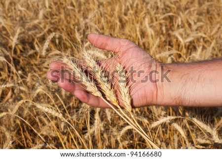 farmer holding a three spikelets of wheat against the background of the field