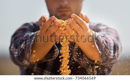 Farmer holding corn grains in his hands  #734066569