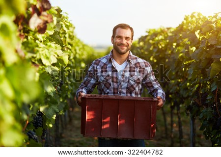 Farmer holding crate of grapes at harvesting in the vineyard, toned.