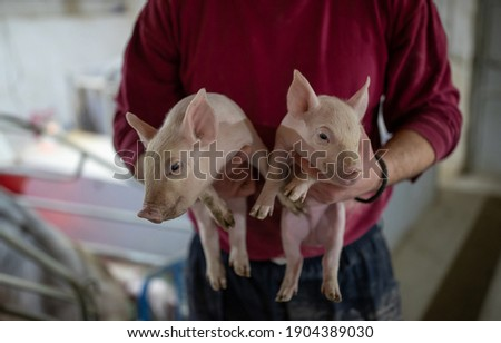 Farmer holding two small piglets in hands in modern pigpen Photo stock ©