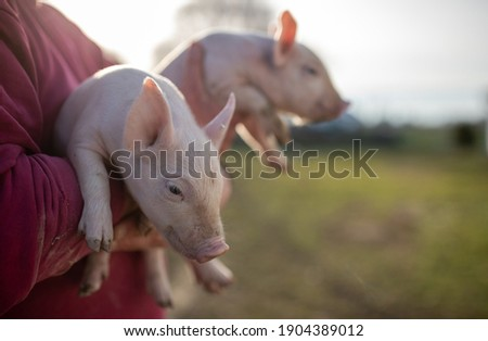 Farmer holding two small piglets in hands on ranch Photo stock ©