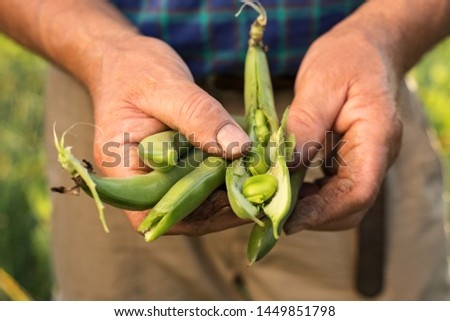Farmer holding vegetable broad beans