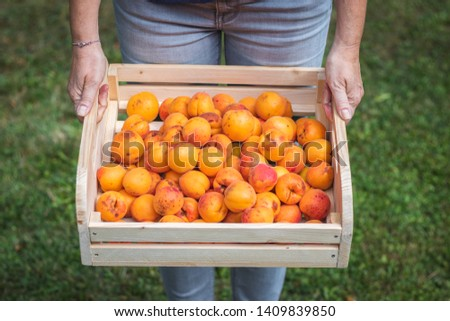 Farmer holding wooden crate full of apricot fruits. Harvesting ripe apricots in garden. Front view of woman with harvested organic homegrown produce.