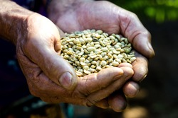 Farmer holds raw coffee beans in his hand. Agribusiness concept