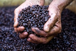 Farmer holds roasted coffee beans in his hand. Agribusiness and production concept