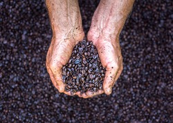 Farmer holds roasted coffee beans in his hand. Agribusiness and production concept. Selective focus