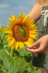 Farmer Holds Sunflower, Farmer in Sunflower Field. Sunflower Cultivation, Harvest Time, Farming Concept. Woman's Hand and Sunflower Flower, Unity with Nature.