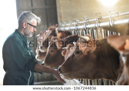 Farmer in barn checking on livestock - Shutterstock ID 1067244836