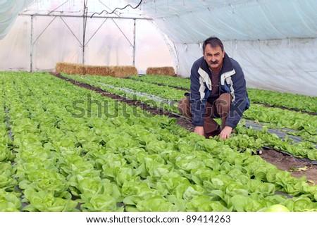 Farmer in Greenhouse. Growing fresh butter lettuce in a greenhouse.