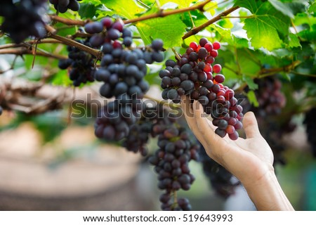Farmer in his vineyard checking and protecting his products, grape fruit in Farm and product for wine