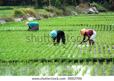 Farmer in the paddy field