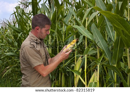 Farmer inspecting the years maize or sweetcorn harvest