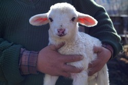 Farmer is holding proudly his very cute newborn baby lamb