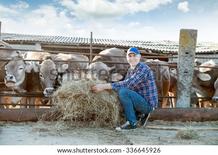 Farmer is working on the farm with dairy cows