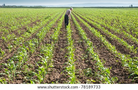 Farmer looking at rows of corn