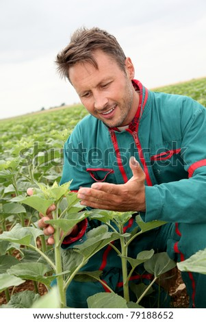 Farmer looking at sunflower plant