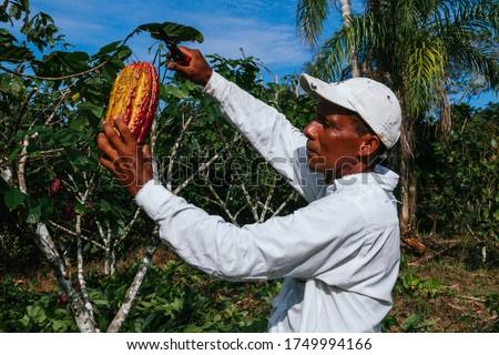 farmer man in cocoa plantation, tending and harvesting, Ecuadorian cocoa