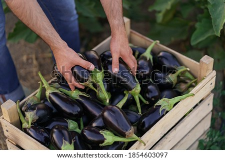 Farmer man is holding in his hands an apron with dark blue eggplants just picked from his garden. Concept of farming, organic products, clean eating, ecological production. Close up Foto stock ©