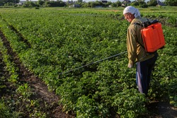 Farmer man spraying potatoes with poison against colorado potato beetle. Gardener poisons pest insect in the garden. Sprinkles with sprayer.