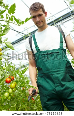 Farmer manuring tomatoes with backpack sprayer in greenhouse