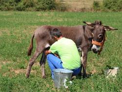Farmer milking  donkey in the meadow