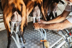 Farmer milking goats using electic and robotic milking machine.