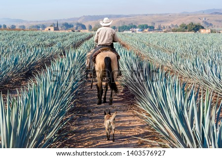 Farmer on his horse walking in his agave seed. Agave landscape, Tequila, Jalisco, Mexico.