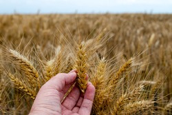 Farmer or agronomist in ripe wheat field, examining the yield quality.  Hand holding the golden wheat straw. Close up. Selective focus.