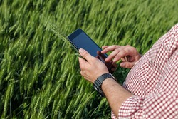 Farmer or agronomist standing in the wheat field holding a digital tablet and examining the yield quality. Smart farming using modern technologies and apps in agriculture.