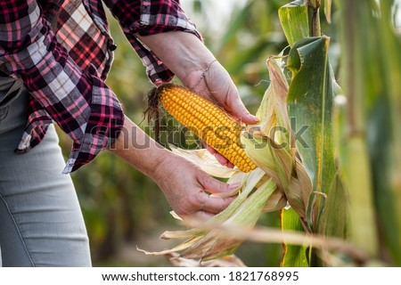Farmer peeling corn cob and control quality before harvest. Agronomist in corn field. Agricultural activity